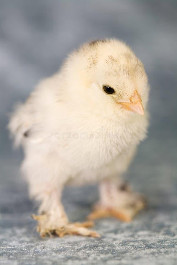 bantam obuty kurczaka zdjęcie royalty free