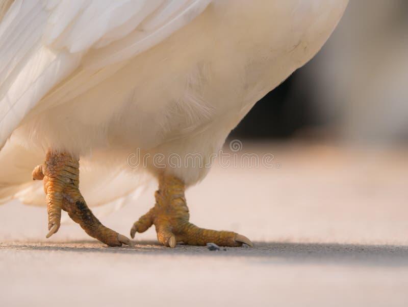 Bantam Steping obrazy stock