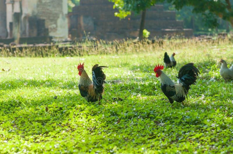 Bantam zwierzę w ogródzie zdjęcia royalty free