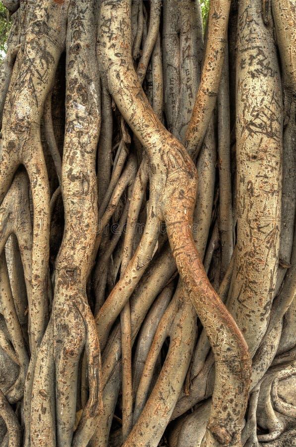 Bantambaum-Baum stockbilder