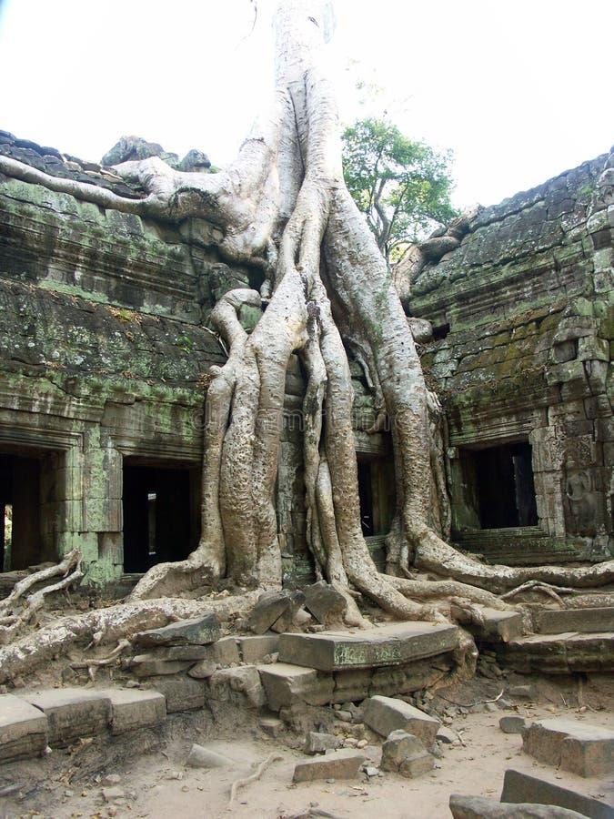 Bantambaumbaum, der durch alten Tempel wächst stockfotografie