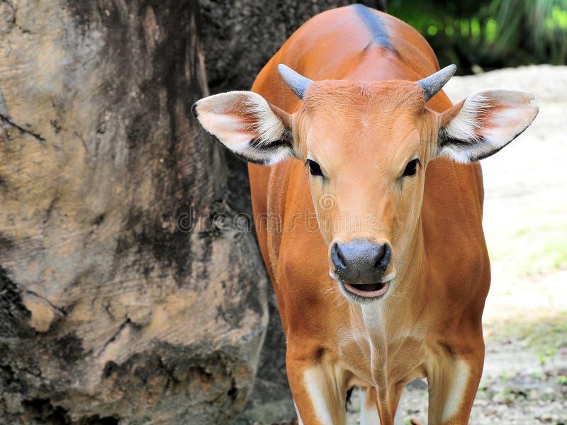 banteng πορτρέτο αγελάδων στοκ φωτογραφίες