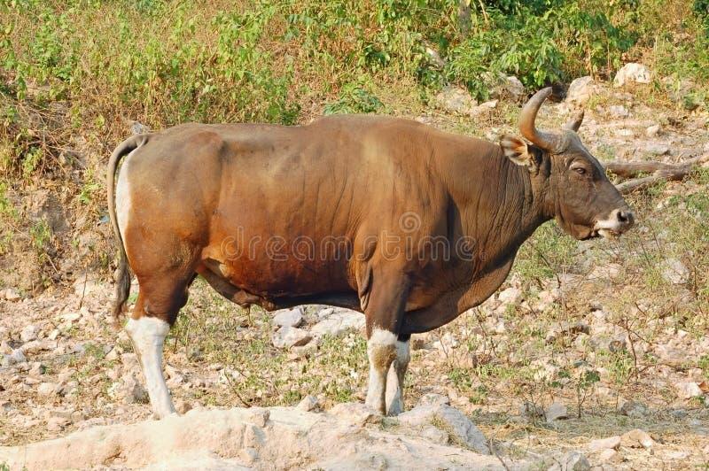 Download Banteng ταύρος στοκ εικόνες. εικόνα από wildlife, επικίνδυνος - 1533468