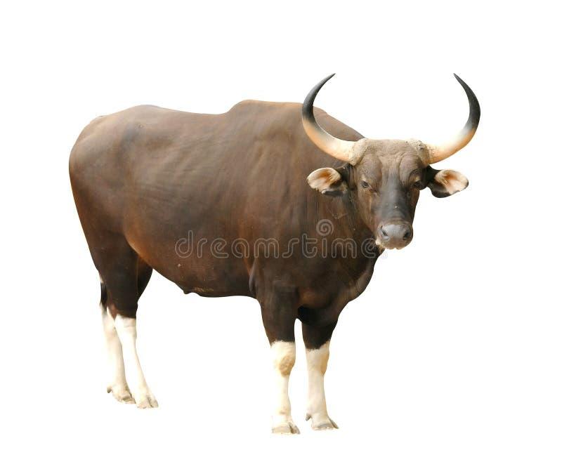 Banteng royalty free stock photography