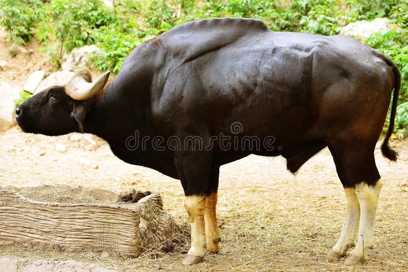 Banteng стоковое изображение rf