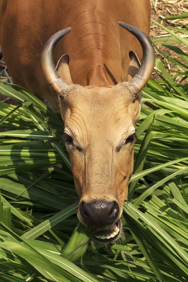 Banteng fotografia de stock royalty free