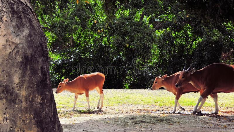 Download Banteng Calf Followed By Two Cows Stock Photo - Image: 30437642