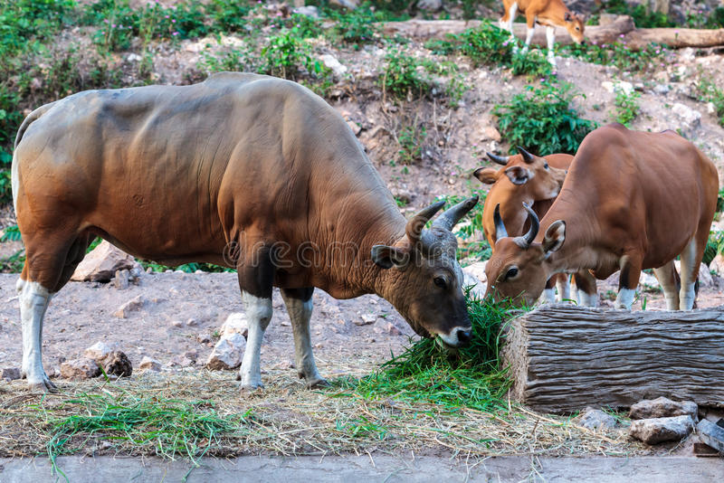 Banteng et veau de Brown mangeant l'herbe photo stock