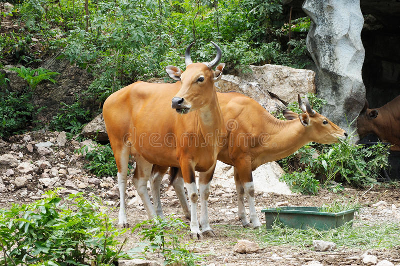 Banteng ou Red Bull photos stock