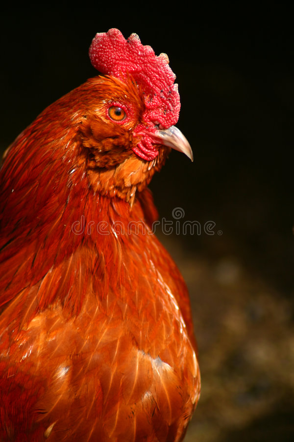 Free Banty Rooster Royalty Free Stock Images - 4825919
