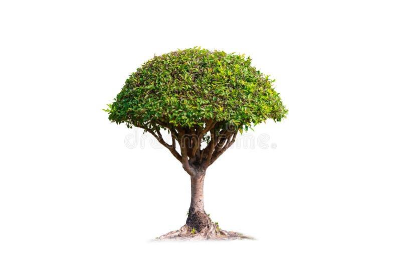 Banyan δέντρο μπονσάι που απομονώνεται στο άσπρο υπόβαθρο στοκ φωτογραφία