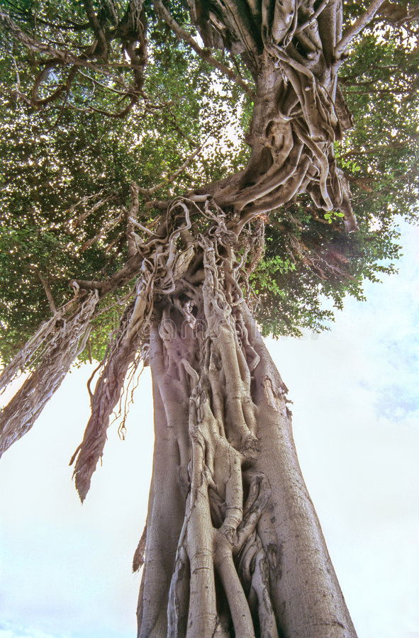 Banyan foto de archivo