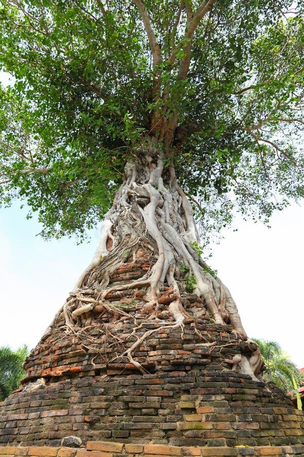 Banyan antyczny drzewo fotografia royalty free