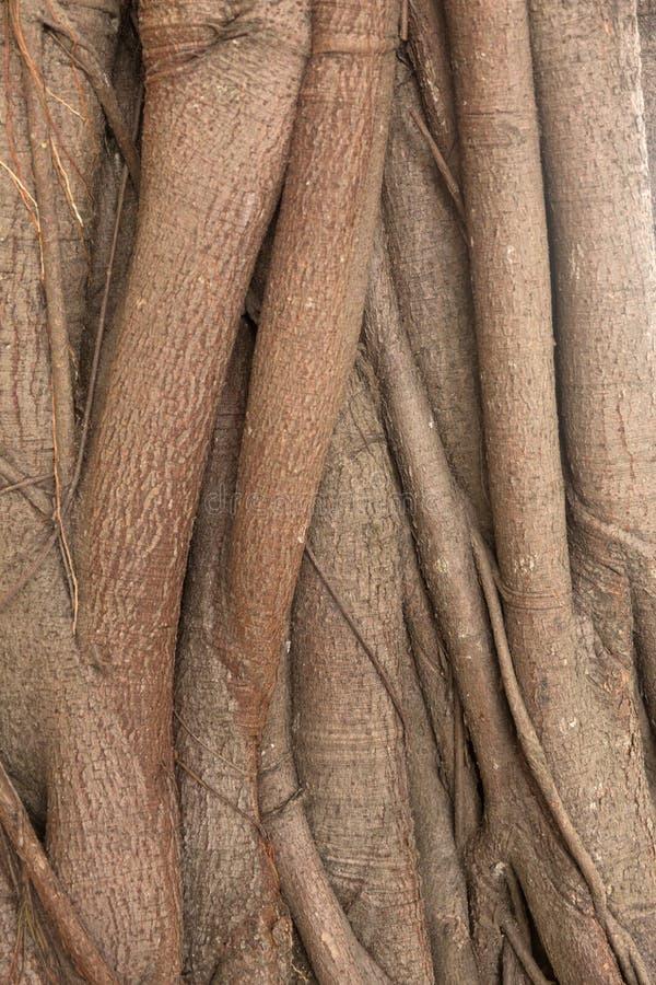 Banyan bark tree texture. Root close up background. stock image