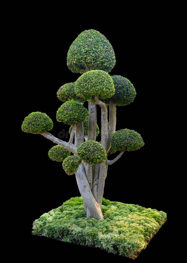 Banyan drzewa chylenia kształt z bezładnym skupiskiem zdjęcia royalty free