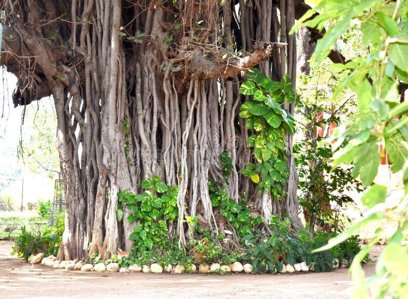 BANYAN drzewa fotografia obraz royalty free