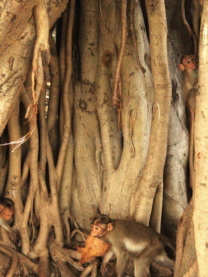 Banyan drzewa korzenie z małpami obrazy stock