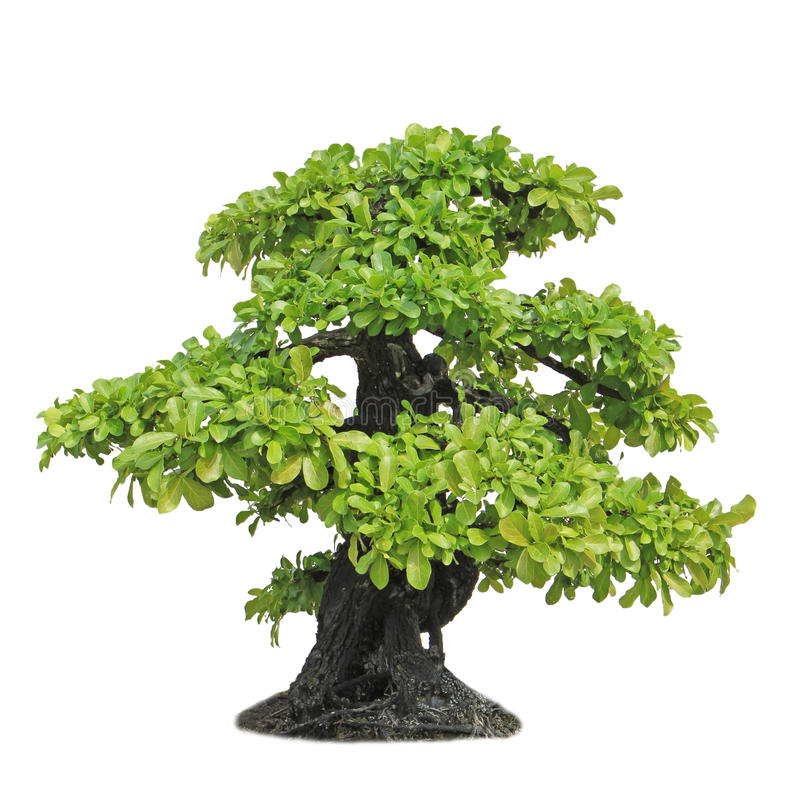 Banyan or ficus bonsai tree. Isolated on white background royalty free stock photo