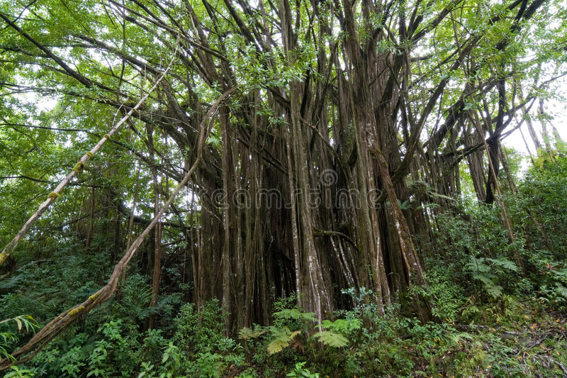 Banyan fig tree