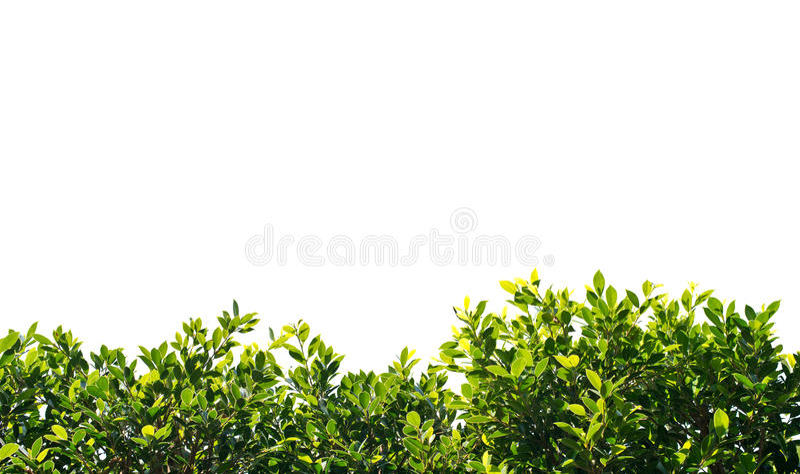 Banyan groene die bladeren op witte achtergrond worden geïsoleerd royalty-vrije stock foto