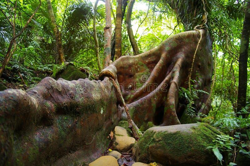 Banyan japonês (microcarpa do Ficus) fotografia de stock royalty free