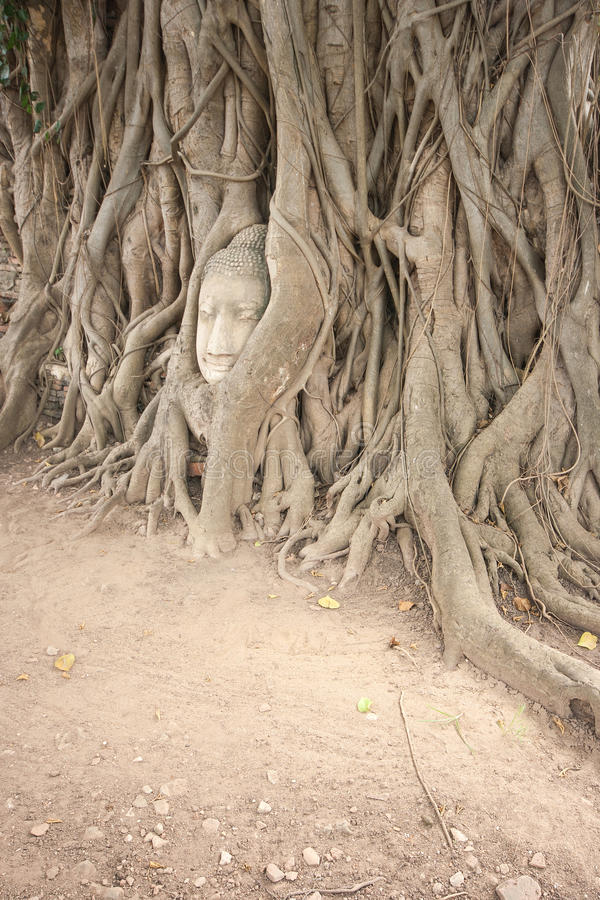 Banyan roots covering the buddha head. royalty free stock photo