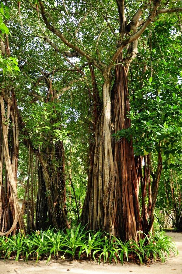 Free Banyan Tree Stock Photo - 47063070