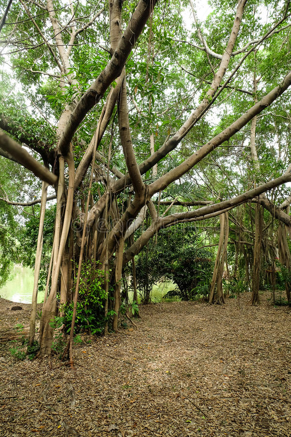 Banyan Tree is beautiful background. stock photos