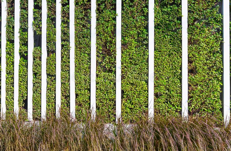 Banyan tree, ficus annulata, green hedge fence and red grass with concrete partition stock photo