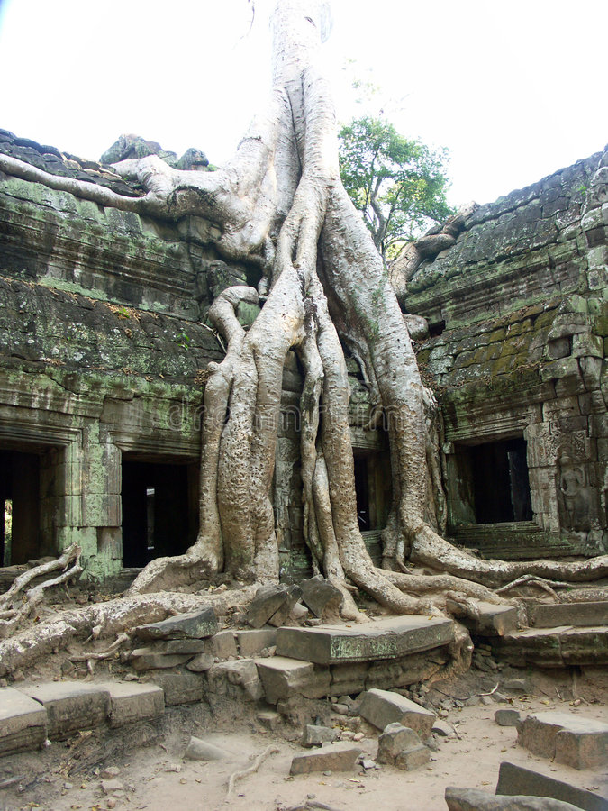Banyan tree growing through ancient temple stock photography