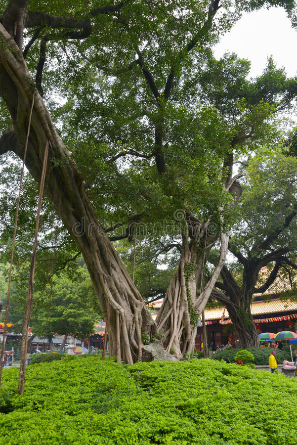 Banyan tree in Guangxiao Temple royalty free stock images