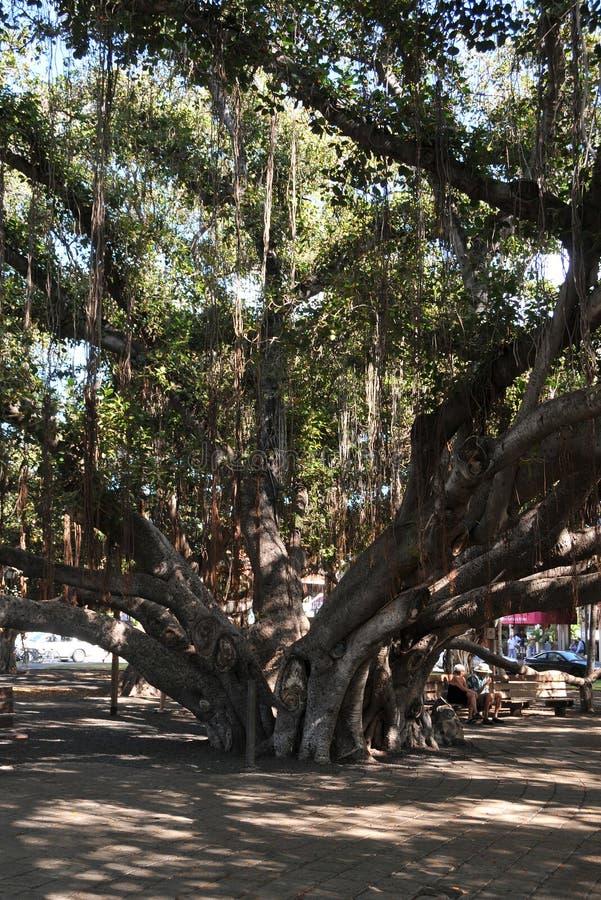 Banyan Tree Lahaina Maui royalty free stock images