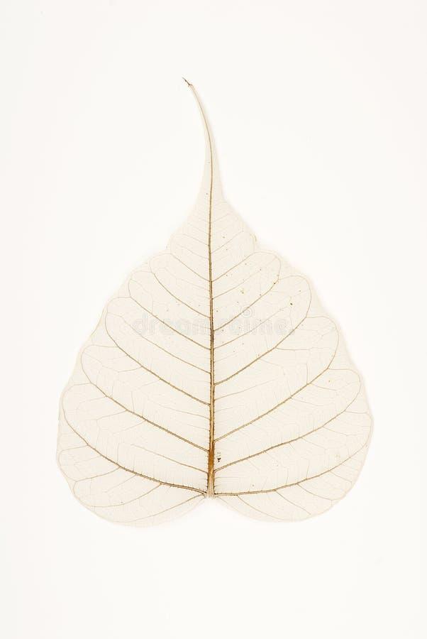 Banyan Tree Leaf Venation Royalty Free Stock Photo