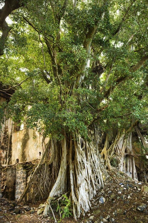 Banyan tree in Maui. stock image