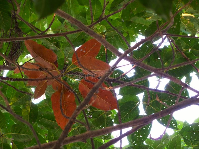 Reddish Banyan Tree Leaves With Green In Background Beautiful Abstract Nature Wallpaper
