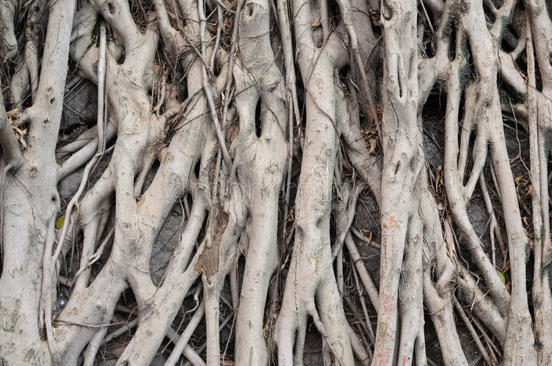 Download Banyan Tree Roots Stock Photography - Image: 5687412