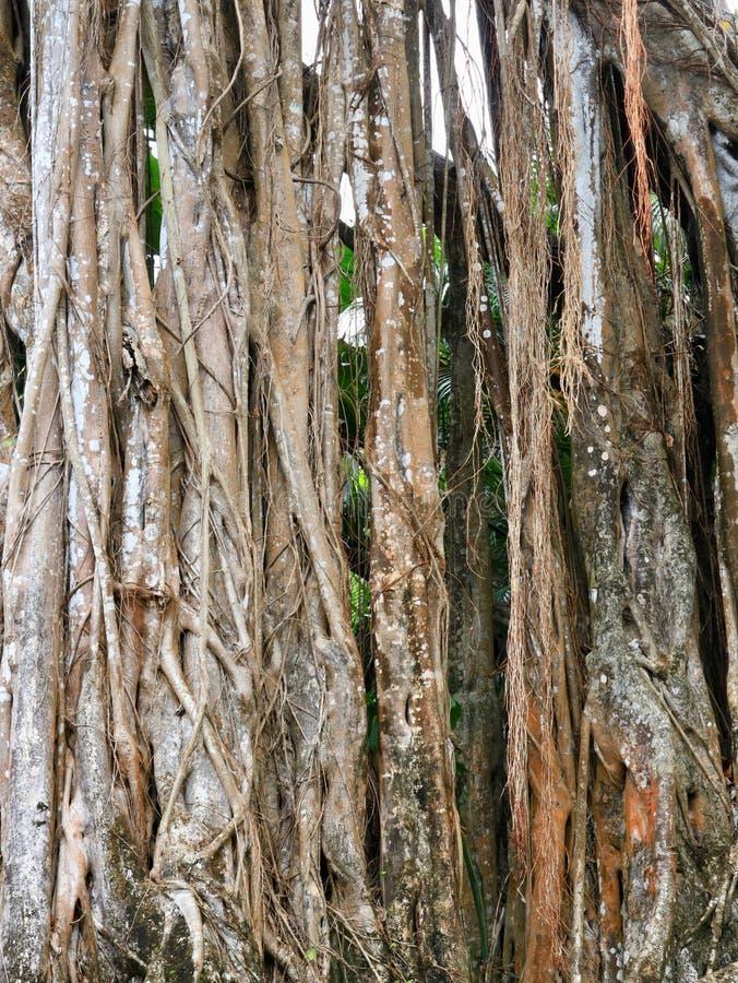 Banyan Tree Roots Close Up royalty free stock photo