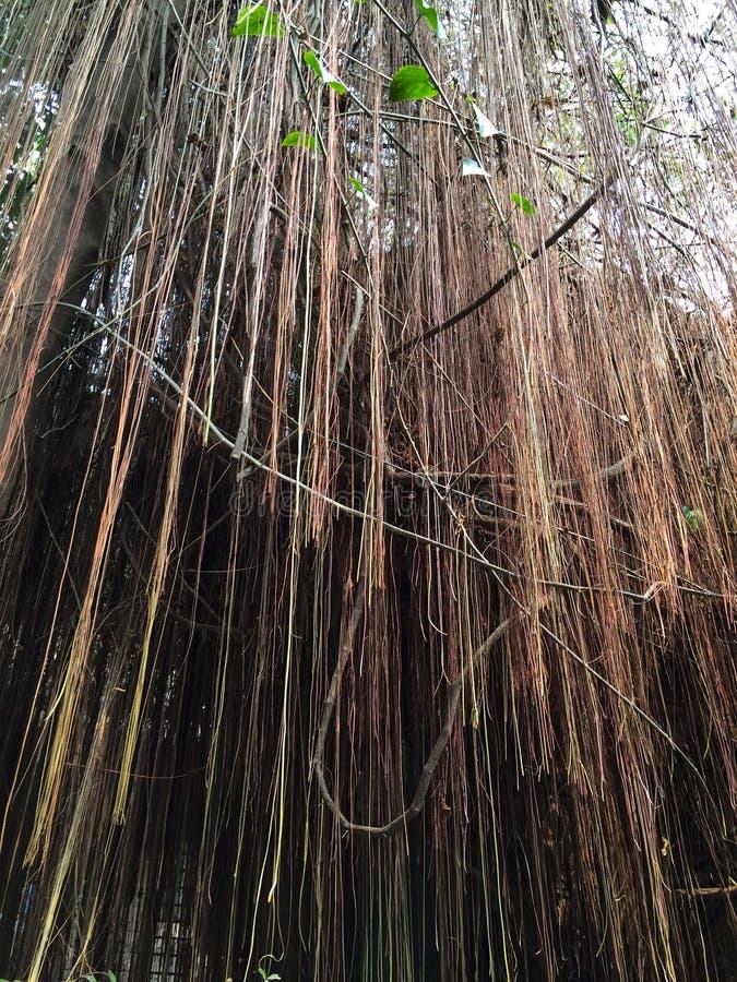 Banyan Tree roots stock image