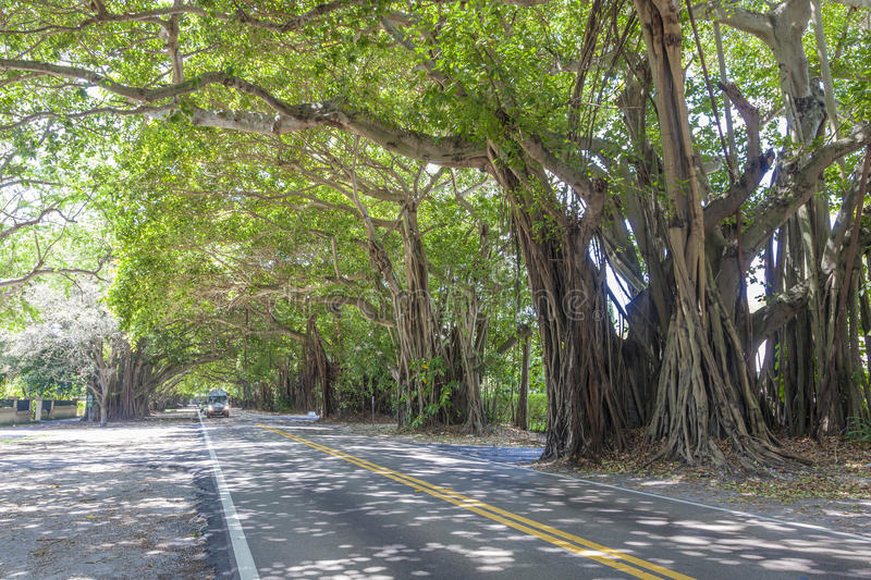 Banyan trees in Coral Gables, Miami. An arch of banyan trees at a street in Coral Gables. Miami, Florida, United States royalty free stock photos