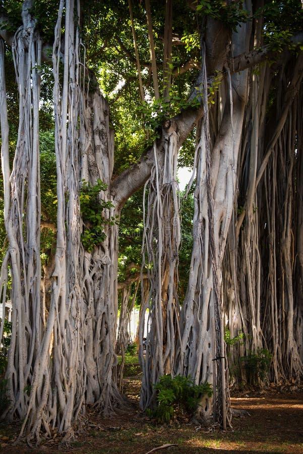 Banyan trees in downtown Honolulu. Large Banyan trees behind Iolani Palace in downtown Honolulu, Hawaii stock image