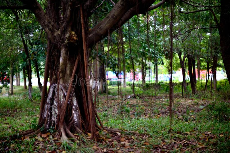 Banyan. Trees in the groves of the roadside royalty free stock image