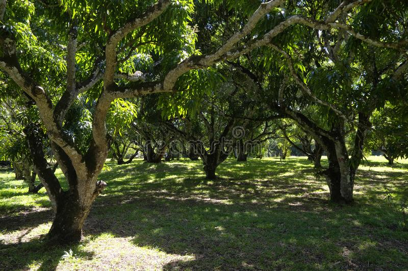 Banyan trees in the Botanical Garden. This is a popular tourist attraction and the oldest botanical. Banyan trees in the Sir Seewoosagur Ramgoolam Botanical stock photo