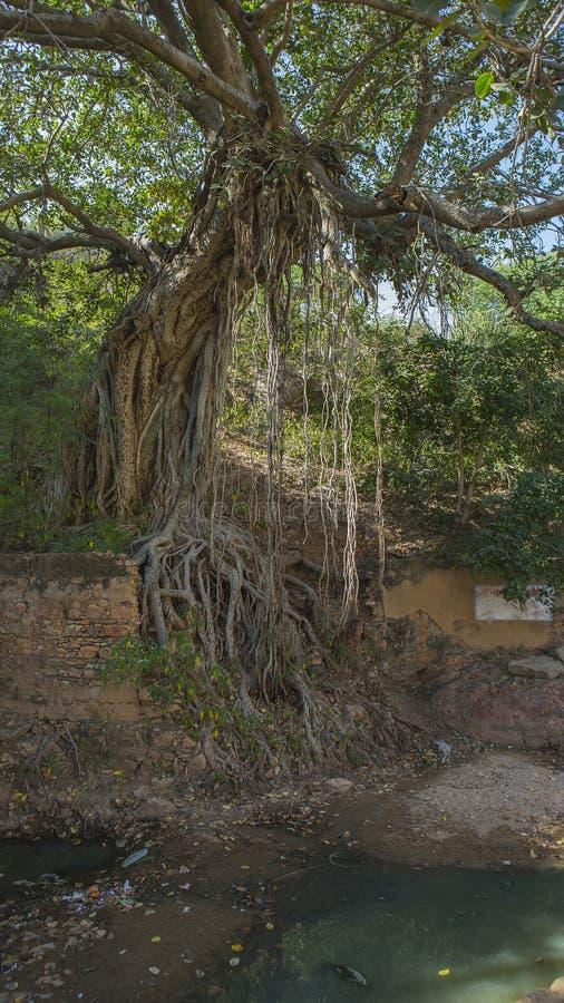 Banyanbaum nahe altem zerstörtem Fort im Rajsamand-Bezirksne lizenzfreies stockfoto
