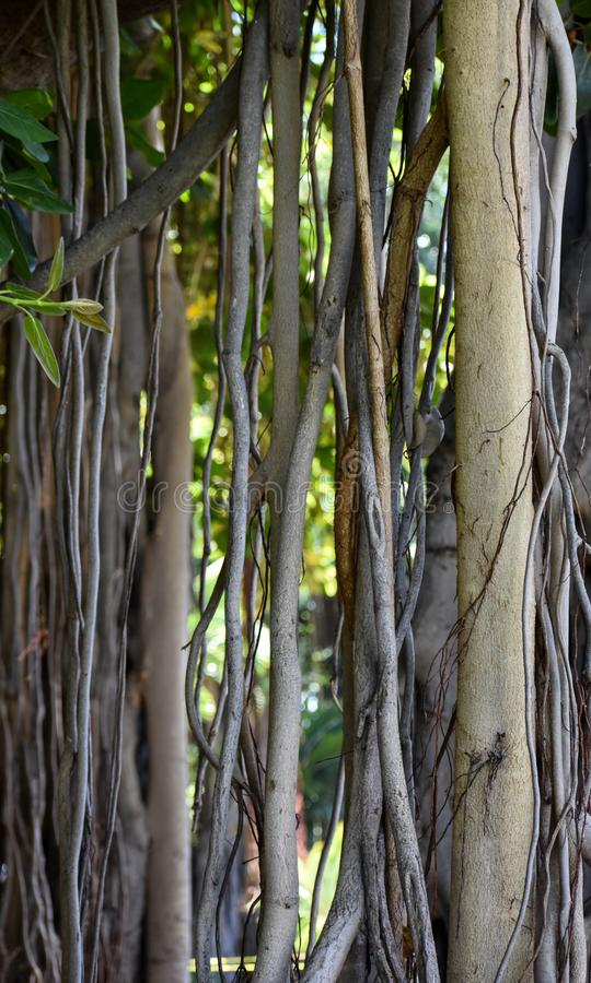 Banyanbaum-Reben und Barke lizenzfreies stockfoto