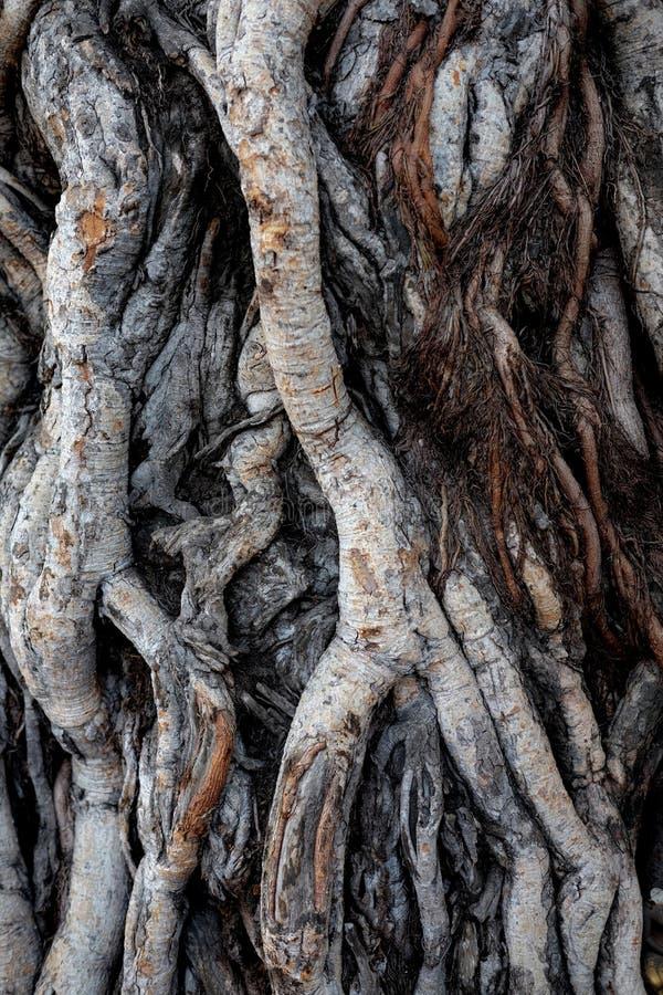 Banyanbaumwurzel stockfotografie