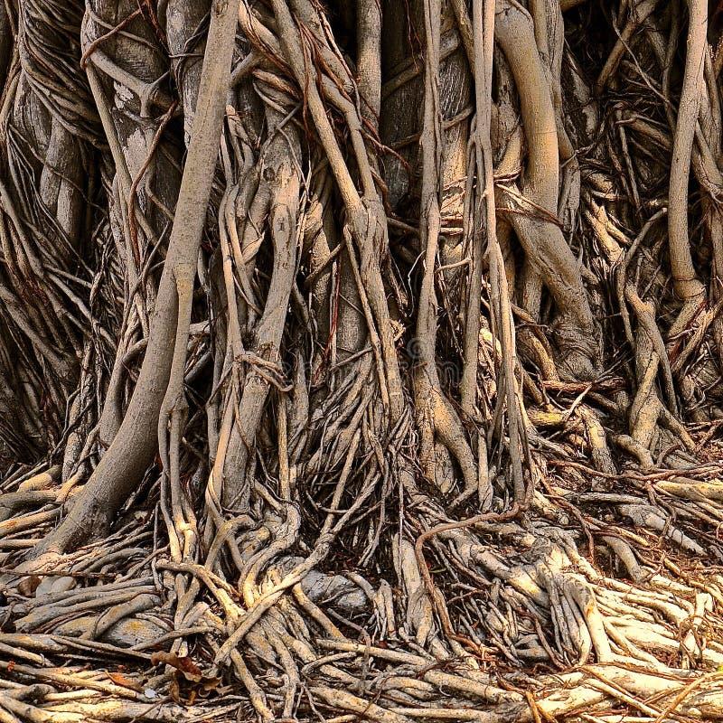 Banyanbaumwurzeln stockfoto