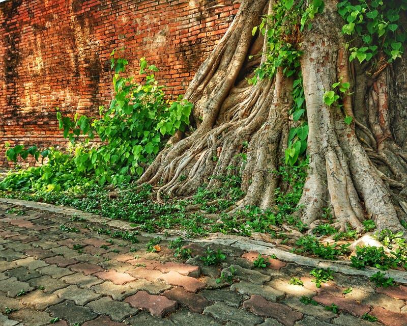 Banyanbaumwurzeln auf altem Wandtempel lizenzfreie stockfotos