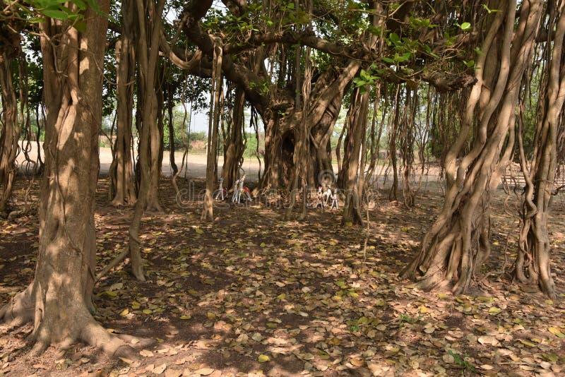 Banyanboom stock afbeeldingen
