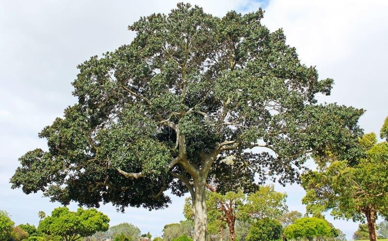 Banyanboom royalty-vrije stock afbeeldingen