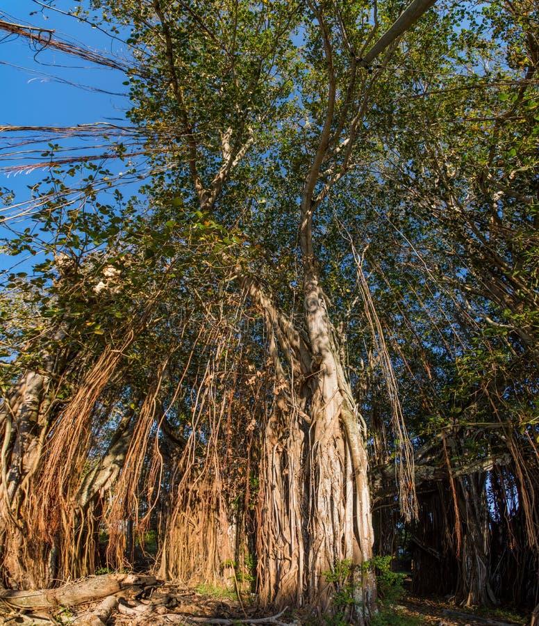 Banyanboom in GLB Malheureux, Mauritius stock foto's